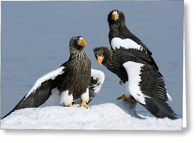 Stellers Sea Eagle Haliaeetus Pelagicus Greeting Card by Sergey Gorshkov