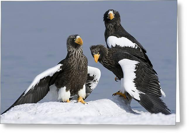 Stellers Sea Eagle Trio Greeting Card by Sergey Gorshkov