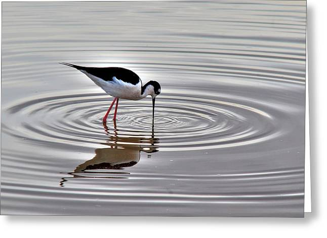 Greeting Card featuring the photograph Black-necked Stilt by Tam Ryan