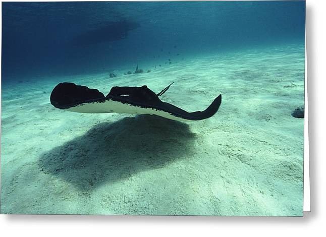 Stingray, Cayman Islands, West Indies Greeting Card by Joe Stancampiano