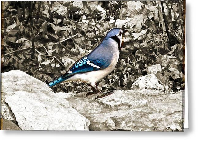 Stone Blue Jay Greeting Card by Debra     Vatalaro