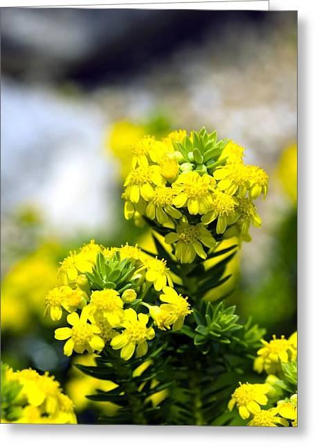 Stonecrop (sedum Middendorffianum) Greeting Card by Dr Keith Wheeler