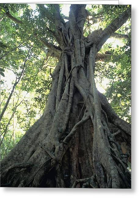 Strangler Fig, Low Angle View Greeting Card by Axiom Photographic