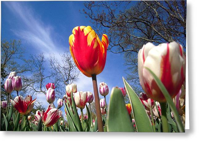 Strato Cirrus Clouds Greet The Tulips  Greeting Card by Don Struke