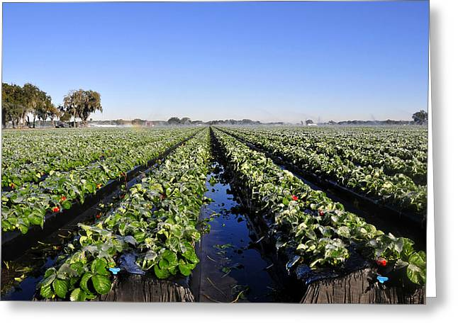 Strawberries On Ice Greeting Card by David Lee Thompson