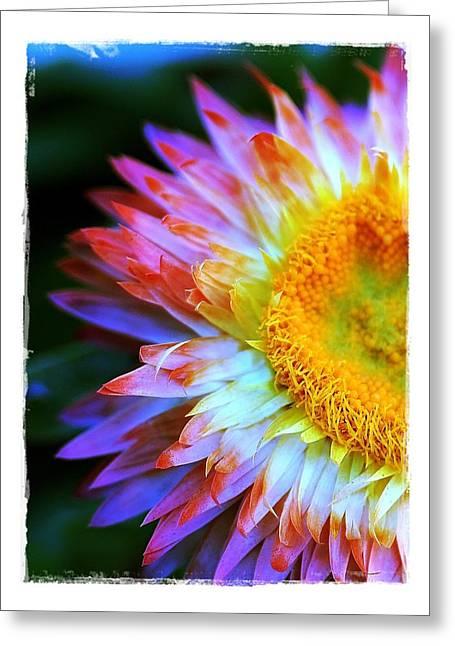 Strawflower Greeting Card by Judi Bagwell