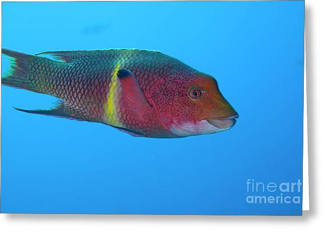 Streamer Hogfish Or Mexican Hogfish Greeting Card by Sami Sarkis
