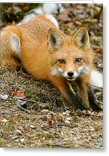 Greeting Card featuring the photograph Stretching Fox by Rick Frost