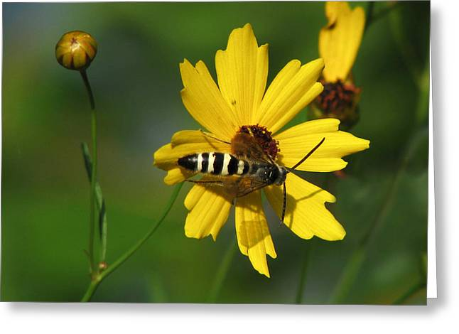 Striped Bee On Wildflower Greeting Card