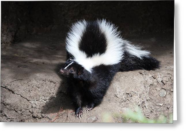 Striped Skunk - 0002 Greeting Card