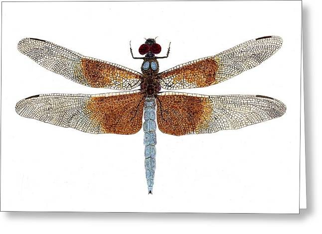 Greeting Card featuring the painting Study Of A Female Widow Skimmer Dragonfly by Thom Glace