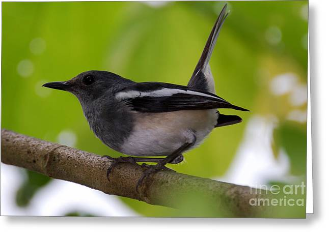 Greeting Card featuring the photograph Study Of A Magpie-robin by Fotosas Photography