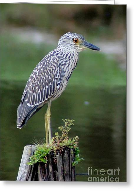 Stumped Night Heron Greeting Card by Benanne Stiens