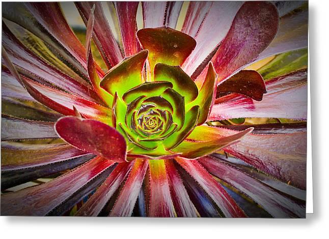 Succulent Aeonium Greeting Card