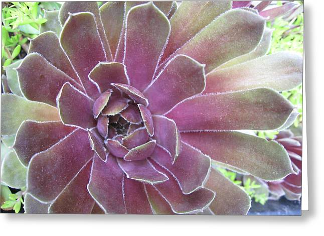 Succulent At Highspire Greeting Card by Tina Ann Byers