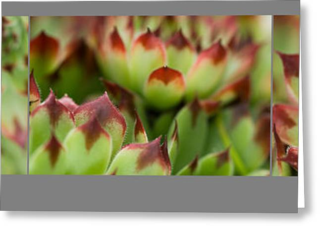 Greeting Card featuring the photograph Succulent by Trevor Chriss