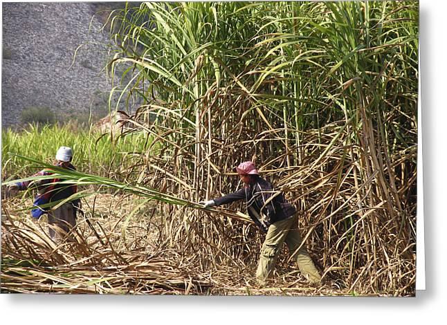 Sugar Cane Harvest Greeting Card