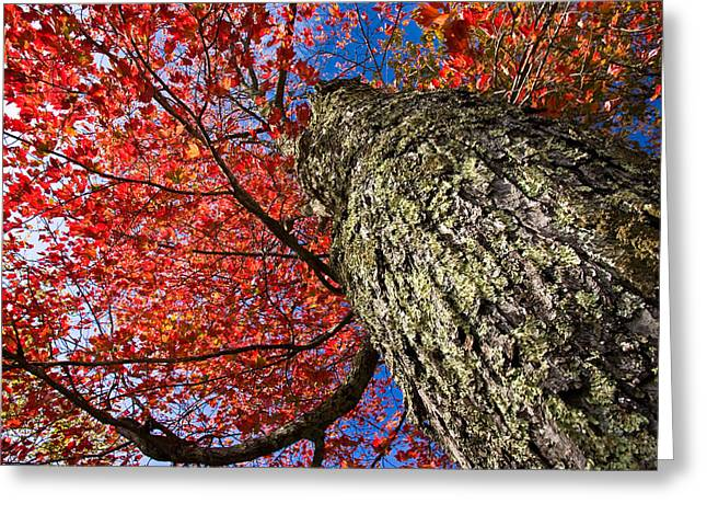 Sugar Maple Greeting Card by Robert Clifford