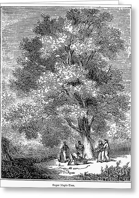 Sugar-maple Tree Greeting Card