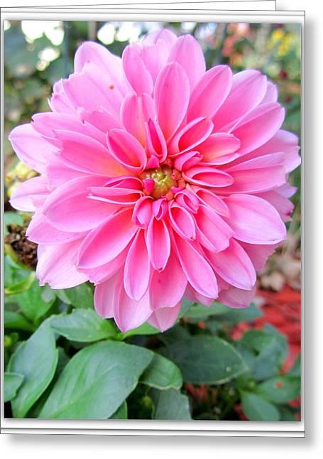 Sugar Pink Dahlia Greeting Card