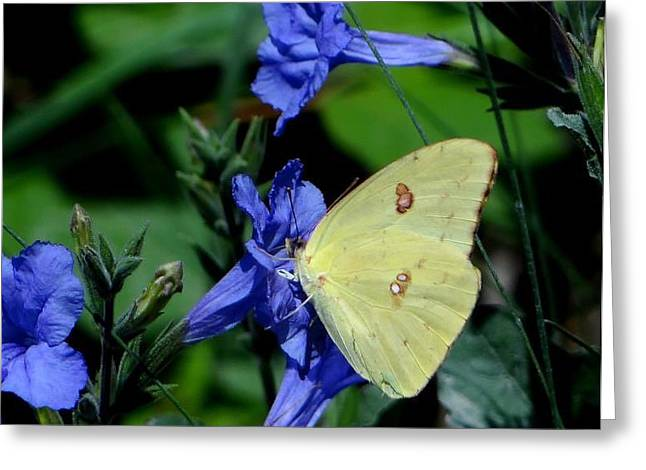 Sulphur Butterfly On Wildflower Greeting Card by Betty Berard