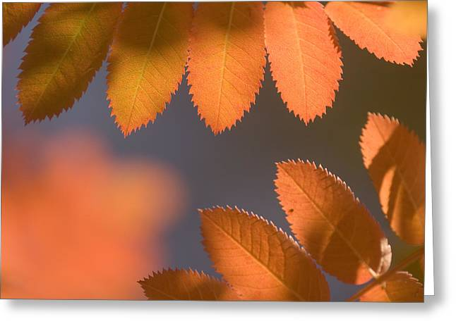 Sumac Leaves In Fall Near Clark Fork Greeting Card by Phil Schermeister