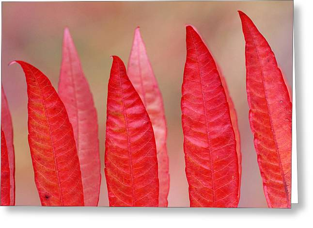 Sumac Leaves Rhus Coriaria In Fall Greeting Card by Mike Grandmailson