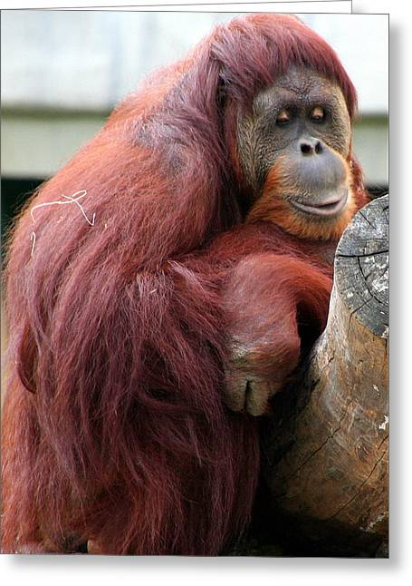 Sumatran Orangutan Greeting Card by Laurel Talabere