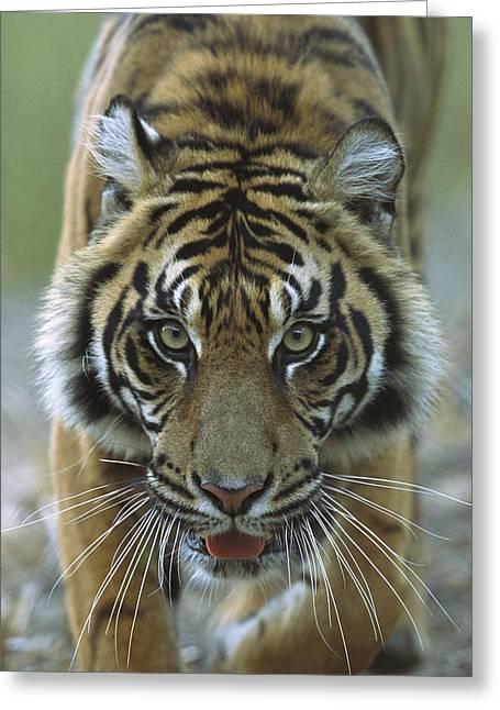 Sumatran Tiger Panthera Tigris Sumatrae Greeting Card by Zssd