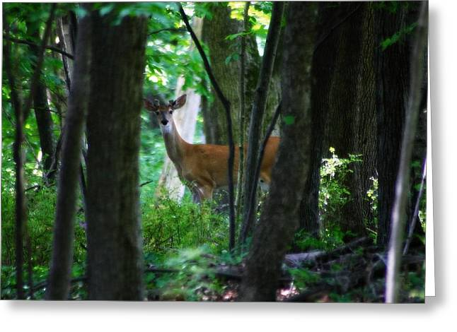 Summer Buck 1 Greeting Card by Scott Hovind