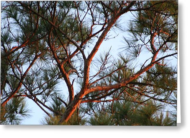 Summer Pine Greeting Card by Rusty Voss