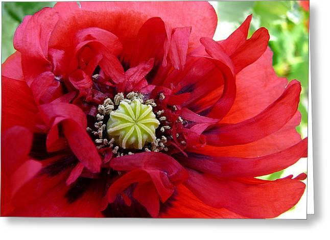Summer Poppy Greeting Card by Anne Gordon