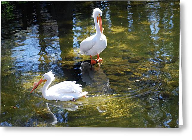 Summer White Pelican Greeting Card