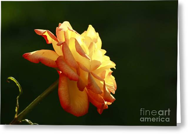 Summers Glow- Elegant Rose Greeting Card by Inspired Nature Photography Fine Art Photography