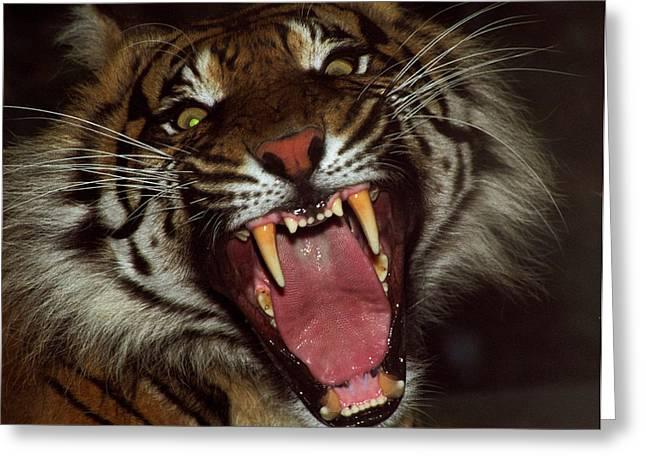 Sumtran Tiger Greeting Card by Kurt Weiss