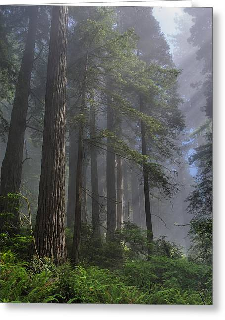 Sun Breaking On Redwoods Greeting Card