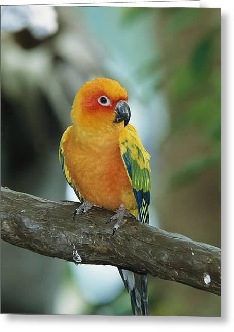 Sun Conure Parrot, Captive Greeting Card