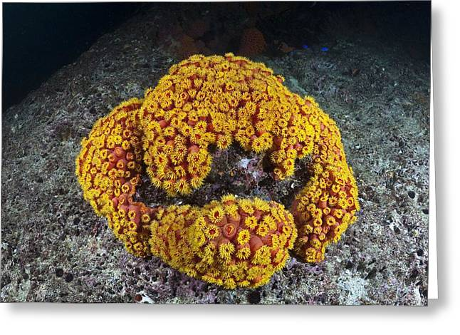 Sun Coral Greeting Card by Matthew Oldfield