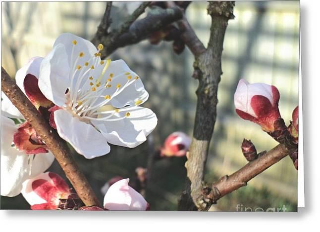 Sun Dappled Apricot Blossom Greeting Card by Padre Art