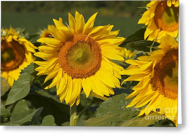 Greeting Card featuring the photograph Sun Flower by William Norton