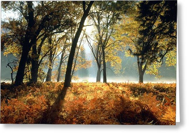 Sun Rays Passing Through Golden Trees  Greeting Card