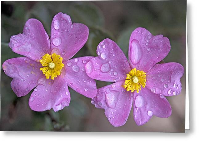 Sun Rose (cistus Creticus) Greeting Card by Bob Gibbons