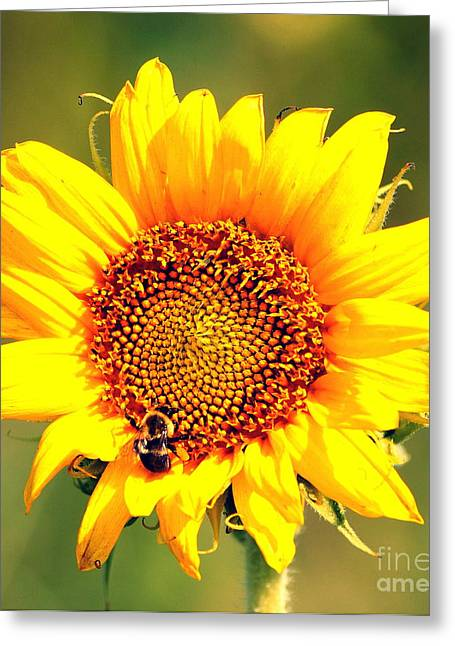 Sunflower And Bee Greeting Card by Paul  Wilford