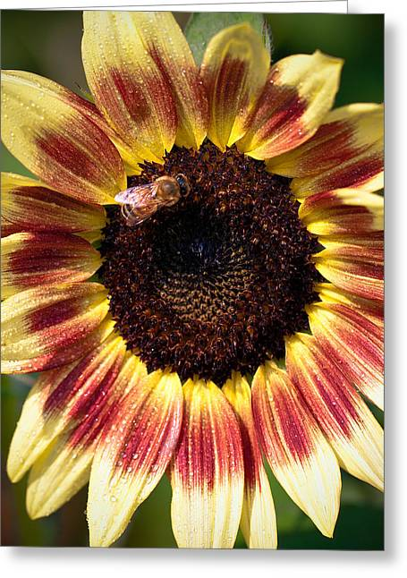 Greeting Card featuring the photograph Sunflower by Anna Rumiantseva