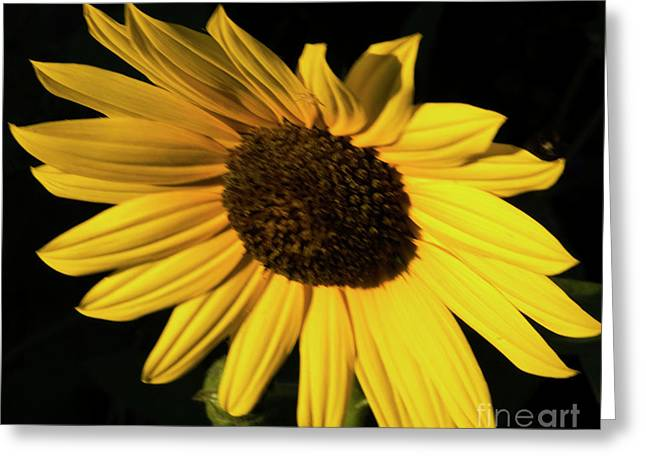 Sunflower At Dusk Greeting Card
