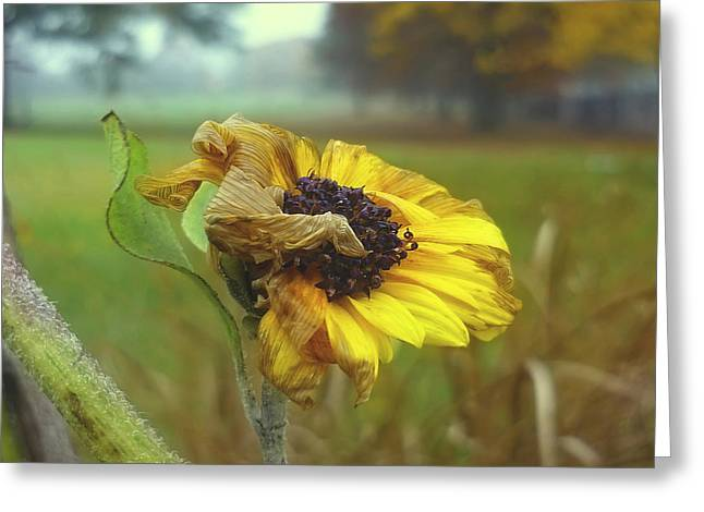 Sunflower At Summers End Greeting Card by Jeff Breiman
