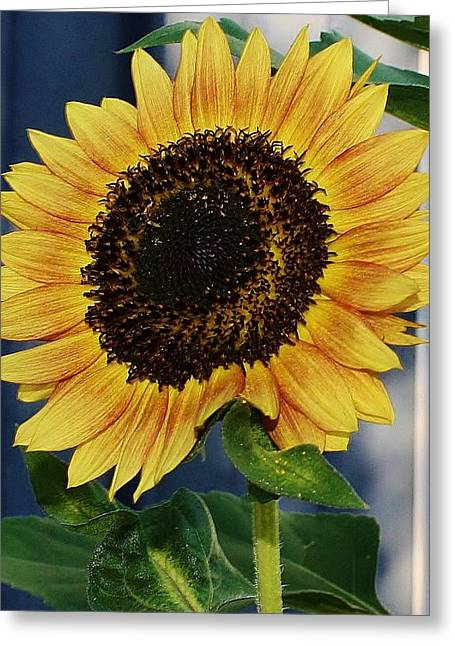 Sunflower Greeting Card by Bruce Bley