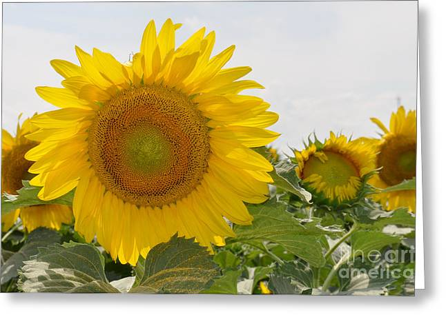 Greeting Card featuring the photograph Sunflower by Cheryl McClure