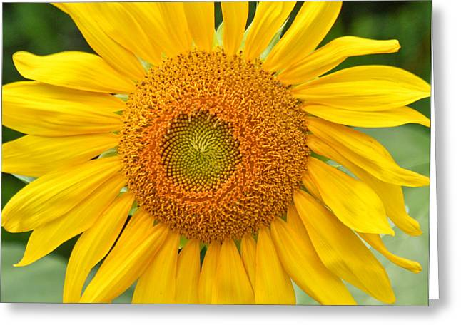 Sunflower Days Greeting Card