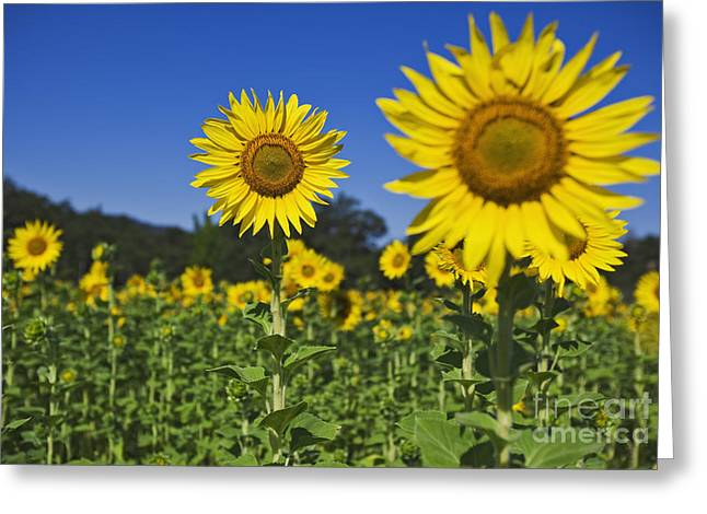 Sunflower Greeting Card by Dennis Flaherty and Photo Researchers